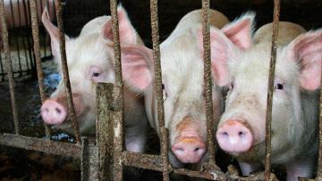 ООН и ВТО осудили запрет на ввоз свинины, введенный в ряде стран