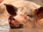 Вспышка свиного гриппа в Мексике имеет